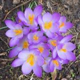 一个小组的特写镜头番红花紫罗兰色开花从上面 库存图片