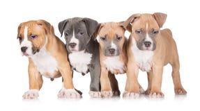 一个小组美国斯塔福德郡狗小狗 免版税图库摄影