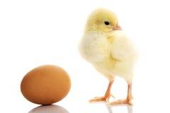 一个小黄色被分离的鸡和鸡蛋。 免版税库存照片