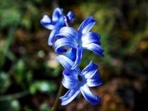 一个小组蓝色jacinthe在黎巴嫩的森林里 图库摄影