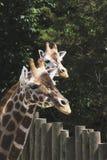 一个小组长颈鹿在动物园里 库存图片