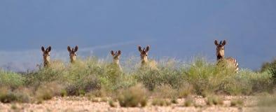 一个小组阿特曼的山斑马 图库摄影