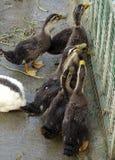 一个小组鸭子 库存照片