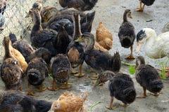 一个小组鸭子 免版税库存照片