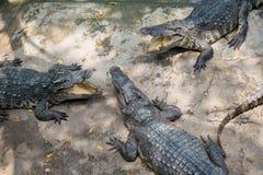 一个小组Aligators 库存图片