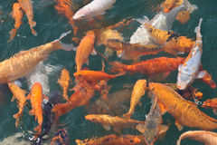 一个小组koi鱼 库存照片