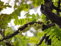 一个小组otaheite鹅莓,在树的phyllanthus acidus, 免版税图库摄影