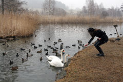 一个少妇喂养鸭子和天鹅 免版税图库摄影
