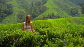 一个少妇的慢动作射击参观的高地茶园 新鲜,茶概念 股票视频