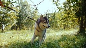 一个少妇,在一个夏天晴天,通过有一条多壳的狗的森林走 股票视频