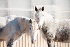 一个尼斯对 站立在冬天畜栏的两匹良种马 库存照片