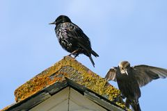 一个屋顶的椋鸟科在康沃尔郡,英国 免版税库存照片