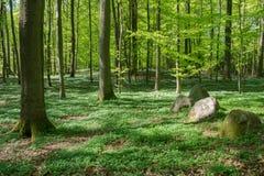 一个山毛榉森林的森林地板在春天,丹麦 免版税库存照片