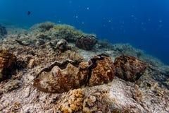 一个巨型蛤蜊的壳的Z形图案特写镜头在珊瑚礁的与五颜六色的鱼 免版税图库摄影