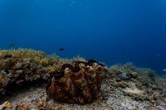 一个巨型蛤蜊的特写镜头在珊瑚礁的分支的珊瑚殖民地中紧贴了 库存照片