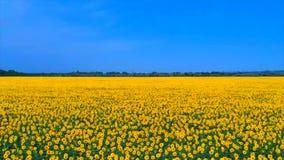 一个巨大的向日葵领域的惊人的鸟s眼睛视图在俄罗斯在夏天 与向日葵行的风景,和他们 股票视频