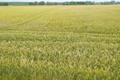 一个巨大的领域播种用黑麦 免版税库存照片