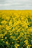 一个巨大的黄色强奸领域 农业 免版税库存照片