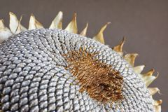 一个干燥向日葵头的特写镜头有灰色种子样式的 免版税库存照片