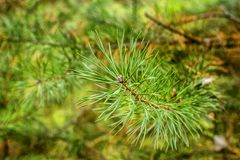 一个年轻云杉的分支的技巧在森林背景的 图库摄影