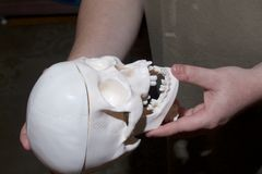 一个年轻人在他的手上拿着一块人的头骨的模型 免版税库存图片