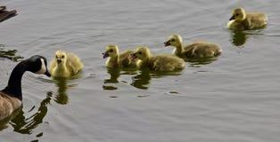 一个年轻家庭的美好的图象加拿大鹅游泳 库存照片