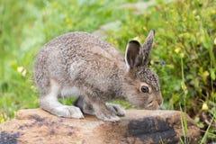 一个年轻野兔坐石头 免版税库存照片