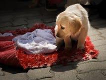 一个年轻金毛猎犬杂种坐一条红色毯子 免版税图库摄影