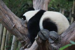 一个幼小大熊猫 图库摄影