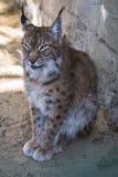 一个幼小天猫座的画象在动物园的 库存照片