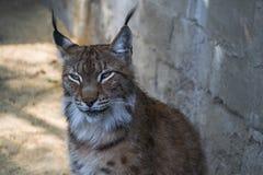一个幼小天猫座的画象在动物园的 免版税库存照片