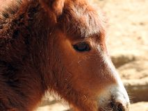 一个幼小小马的画象,小小马 免版税图库摄影