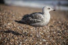 一个幼小海鸥和五颜六色的小卵石 图库摄影