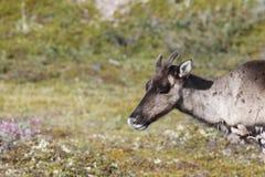 一个幼小贫瘠地面北美驯鹿的特写镜头与绿色寒带草原的在背景中在8月 免版税图库摄影