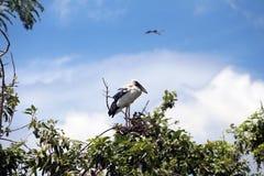 一个开放开帐单的鹳鸟栖息处在蓝天和白色云彩背景的树顶部 库存照片