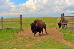 一个开放篱芭门的北美野牛水牛城 库存图片