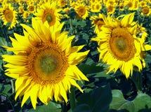 一个开花的向日葵的领域 库存照片