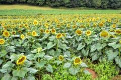 一个开花的向日葵领域,碧玉,乔治亚,美国 库存照片