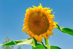 一个开花的向日葵 免版税库存照片