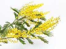 一个开花的含羞草的分支 图库摄影
