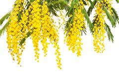 一个开花的含羞草的豪华分支 库存照片