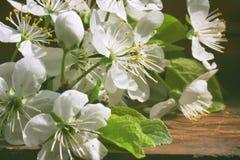 一个开花的李子的分支在一张木桌上的 免版税库存图片