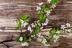 一个开花的李子的分支,春天花背景 免版税图库摄影