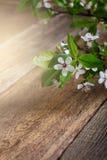 一个开花的李子的分支,春天花背景 免版税库存照片