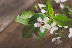 一个开花的李子的分支,春天花背景 库存图片