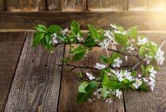 一个开花的李子的分支,春天花背景 免版税库存图片