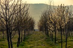 一个开花的果树领域 免版税库存照片