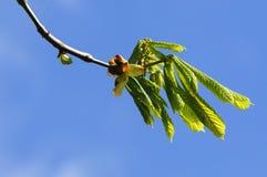 一个开花的栗子的特写镜头反对天空的 免版税库存图片