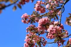 一个开花的桃红色杏仁的分支 免版税库存照片