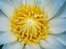 一个开花的浪端的白色泡沫百合 免版税库存照片